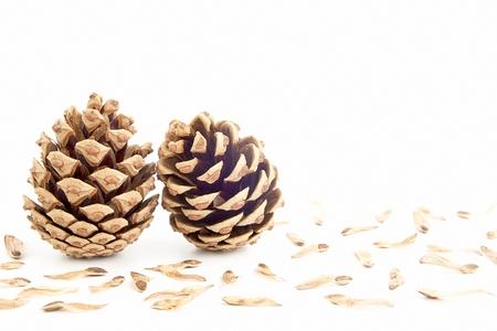 esporas: Dos conos de pino con semillas de esporas en el fondo blanco