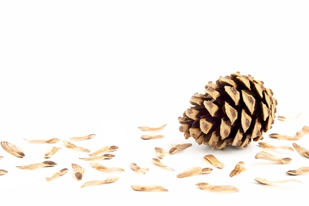 esporas: Un cono de pino con semillas esporas en blanco Foto de archivo