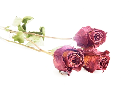 Three red dry roses on a white background photo