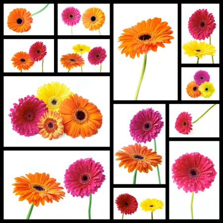 Collage gerber flower on white background photo