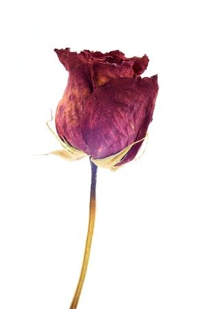 dode bladeren: Een rode droge rozen op een witte achtergrond