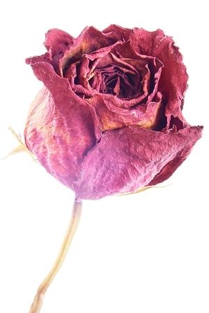 dode bladeren: Een rode droge rozen op een witte Stockfoto