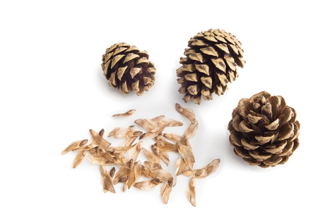 pine three: Three pine cone with seeds spores on white