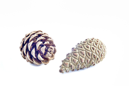 Two pine cones on a white background photo