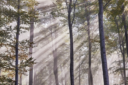 View of Sun rays in misty beech forest photo