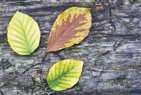 Three autumn beech leaves on old wood photo