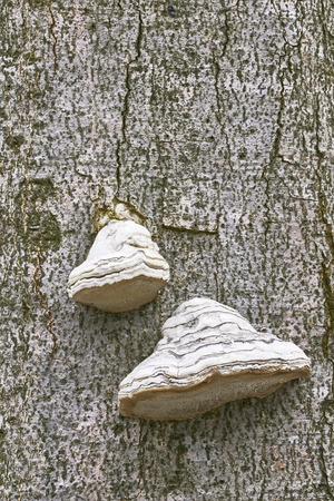 pore: The two poly- pore is holding a beech tree trunk