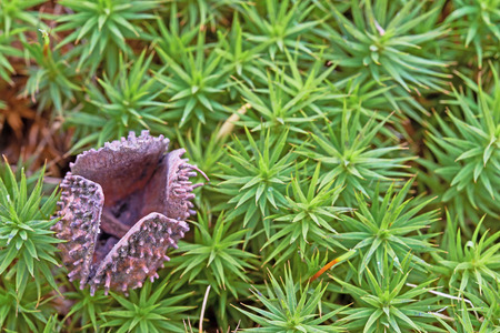guardianship: One shell beechnuts lying on green moss Stock Photo