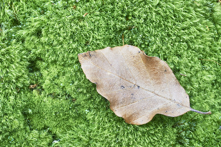 beech leaf: Detail lone beech leaf lying on green moss