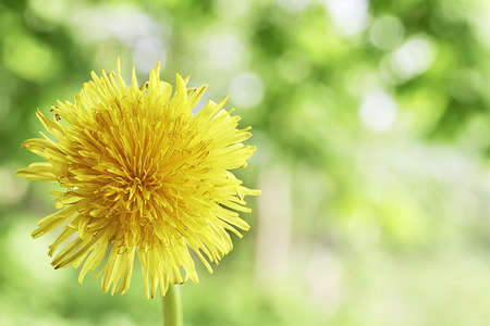 detailed view: Detailed view of a yellow blooming dandelion
