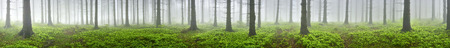 Spring panorama of coniferous forest with mist in the background