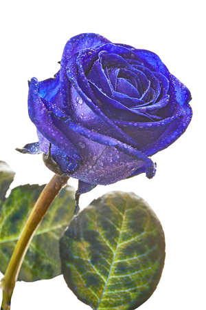 compleanno: One blue rose with drops on a white background Archivio Fotografico
