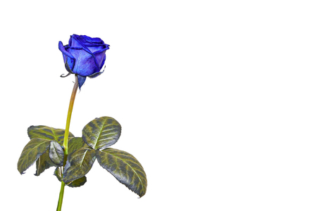 blue rose: One blue rose with on a white background Stock Photo
