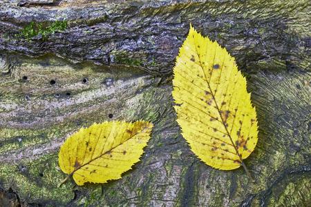 hornbeam: Detailed view of the two hornbeam leaves on the bark of a tree