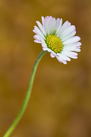 macro: Macro view of daisy flowers with background blur Stock Photo
