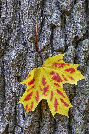 detailed view: Detailed view of autumn maple leaves hanging on tree bark