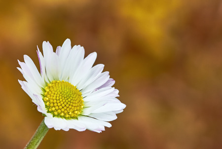 macro flowers: Macro view of daisy flowers with background blur Stock Photo