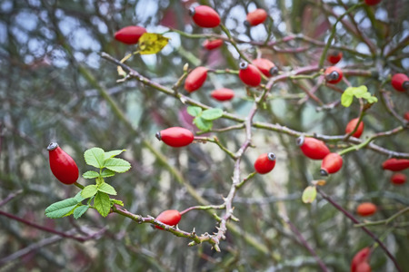 twigs: View of twigs with many Rose-hips