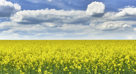 rappi: View to rape field with a blue sky with clouds