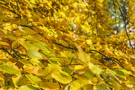Beech leaves in autumn in the park