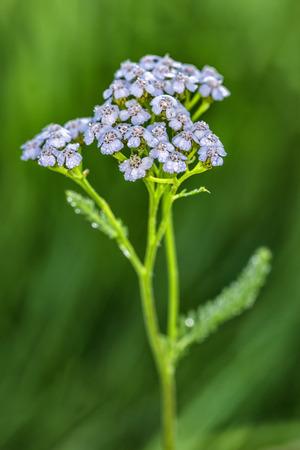 yarrow:  One Yarrow flower on a green background
