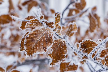 Branch with froze leaves beech tree
