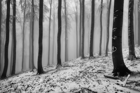 View of winter beech forest with fog on background Imagens