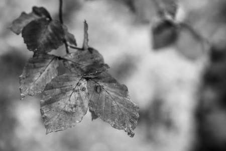 Close-up view of autumn of beech tree leaves