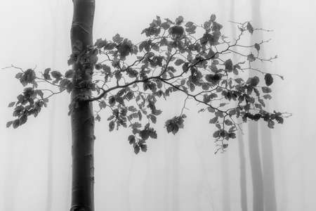 Autumn beech tree with leaves and with fog on the background