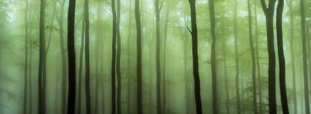 Panorama of spring beech forest with fog in the background