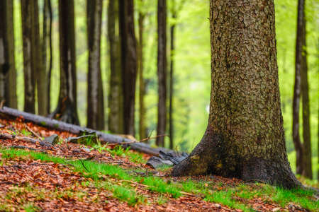 Spring forest with beech tree trunks Reklamní fotografie