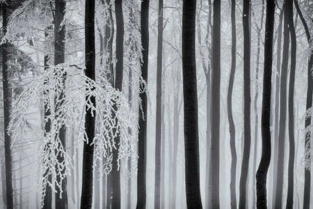 Winter forest with beech tree trunks and branches Reklamní fotografie