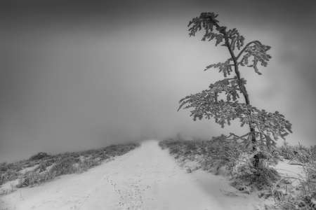 Lonely tree by a forest path in winter with fog in the background