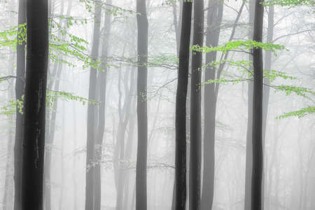 Spring forest with beech tree trunks and branches with fog on background