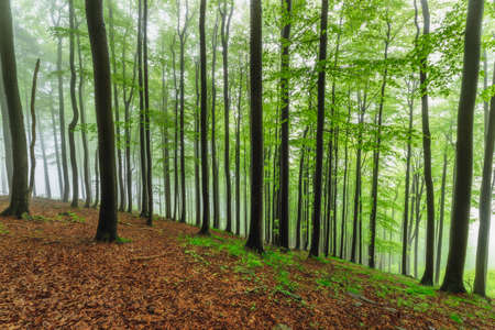 Spring beech forest with fog in the background