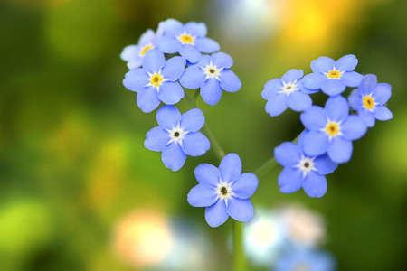 flores peque�as: No me olvide, peque�as flores en forma de un coraz�n  Foto de archivo