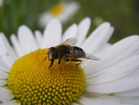 ambrosia: This is a bee sitting on some flower.