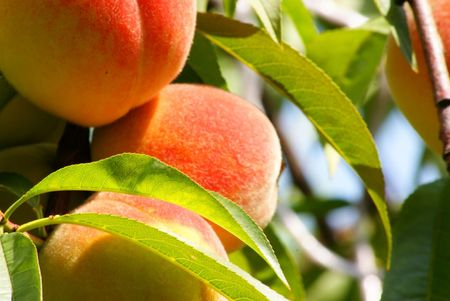 This is a fruit of the peach-tree.