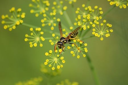 ambrosia: This a wasp sitting on the plant.