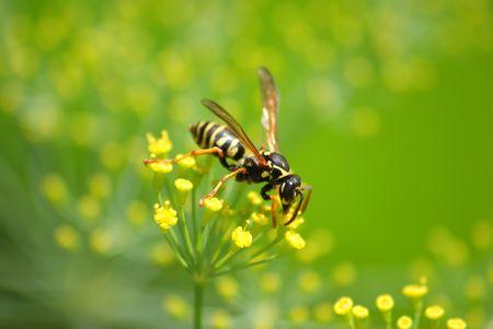 ambrosia: Questa vespa di una seduta sulla pianta.