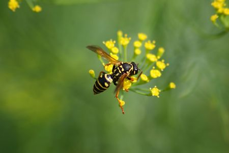 This a wasp sitting on the plant.