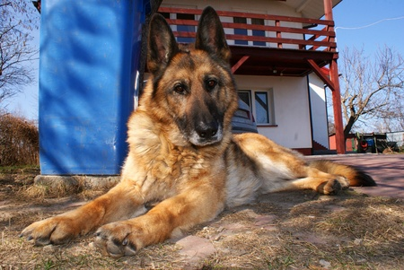 This is a female german sheep-dog. photo