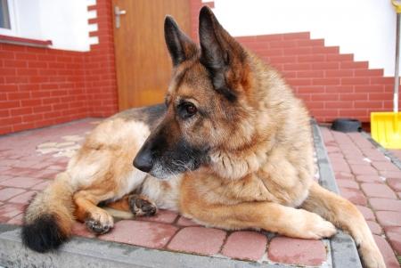 bitch: Se trata de una perra de perro pastor alem�n. Foto de archivo