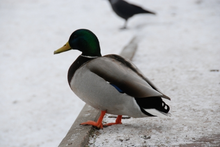 drakes: This is a view of ducks and drakes in park