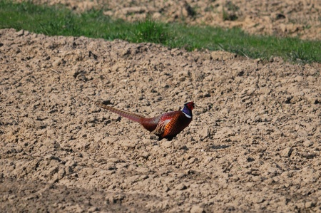 upland: This is a view of pheasant on the field Stock Photo