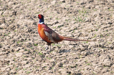 gamebird: This is a view of pheasant on the field Stock Photo