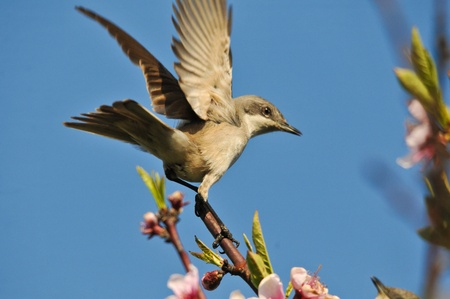 perching: This is a view of nightingale on the branch Stock Photo