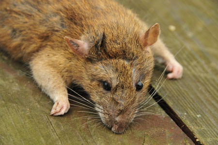 This is a view of rat closeup Stock Photo