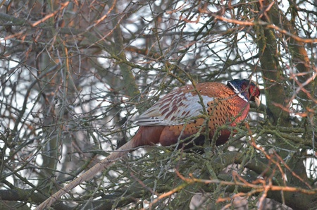 upland: This is a view of pheasant on the branch