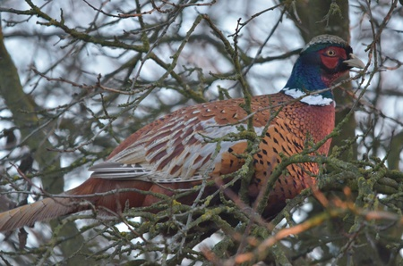 This is a view of pheasant on the branch photo